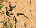 Dusky-headed Parakeetborder=