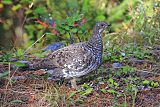 Dusky Grouse