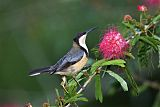 Eastern Spinebillborder=