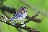 Eastern Bluebirdborder=