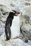 Erect-crested Penguinborder=