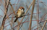Eurasian Tree Sparrowborder=