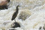 Fasciated Tiger-Heron
