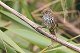 New Zealand Fernbirdborder=
