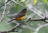 Flame-rumped Tanagerborder=