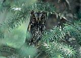 Flammulated Owlborder=