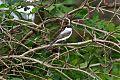 Fork-tailed Flycatcherborder=