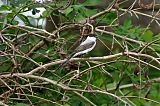 Fork-tailed Flycatcher
