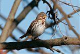 Fox Sparrowborder=