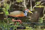 Russet-naped Wood-Rail