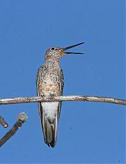 Giant Hummingbird