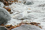 Glaucous-winged Gullborder=