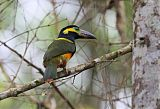 Golden-collared Toucanetborder=