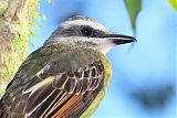Golden-crowned Flycatcherborder=