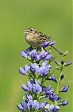 Grasshopper Sparrowborder=