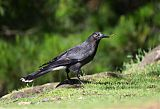 Gray Currawong