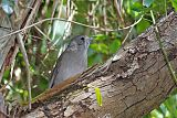 Gray Shrikethrush
