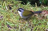 Gray-browed Brushfinchborder=