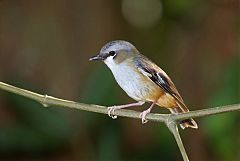 Gray-headed Robin