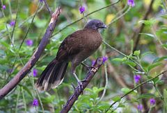 Gray-headed Chachalaca