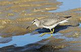 Gray-tailed Tattlerborder=