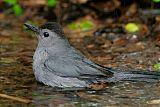 Gray Catbirdborder=