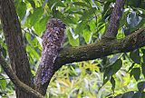 Great Potoo