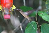 Great-billed Hermit