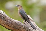 Great-tailed Grackleborder=