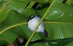 Great Antshrike