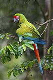 Great Green Macawborder=