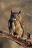 Great Horned Owlborder=