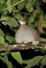 Great Tinamou