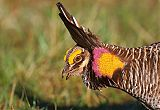 Greater Prairie-Chicken