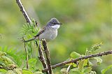 Greater Whitethroatborder=