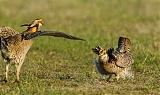 Greater Prairie-Chickenborder=