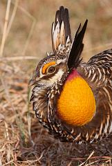 Greater Prairie-Chicken