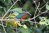 Green-and-rufous Kingfisherborder=