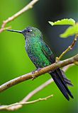 Green-crowned Brilliantborder=