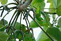 Green-rumped Parrotletborder=