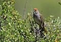 Green-tailed Towheeborder=