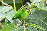 Green Honeycreeper
