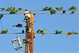 Green Parakeetborder=