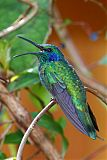 Lesser Violetear