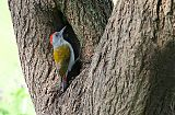 African Gray Woodpecker