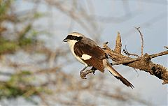 Gray-backed Fiscal