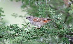 Swahili Sparrow