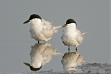 Gull-billed Ternborder=