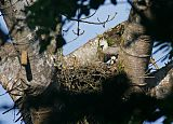 Harpy Eagleborder=