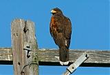 Harris's Hawkborder=